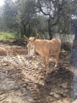 Andalucian donkey
